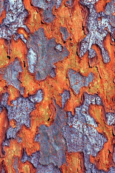 ulmusparvifoliaphotographiedecedricpollet3896.jpg