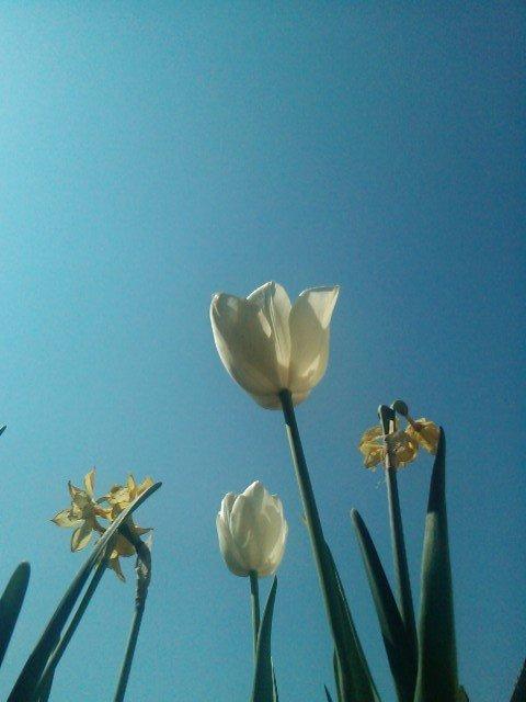 tulipbalguerie1.jpg